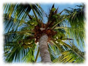 olej z palmy kokosa