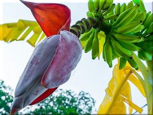 kwiaty bananowca