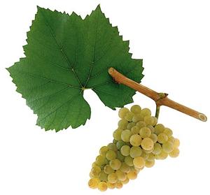 wino bezalkoholowe chardonnay