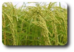 mąka ryżowa sklep