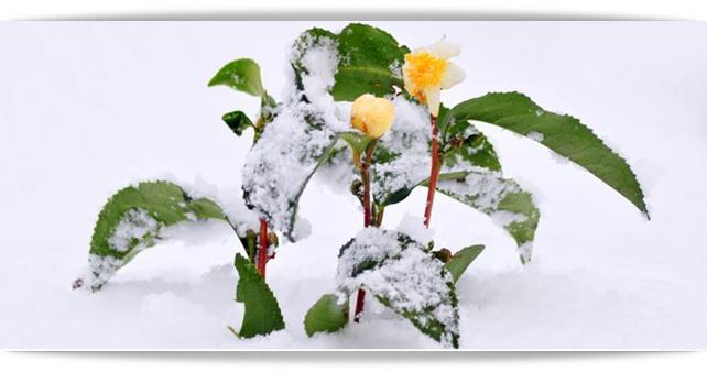 winter, tea plant
