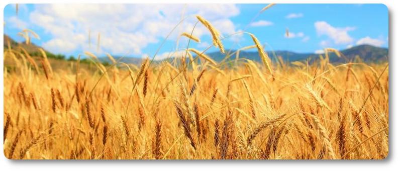 mąka cena