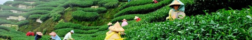 zielona herbata japońska
