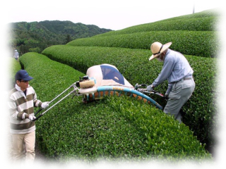 zielona herbata sencha
