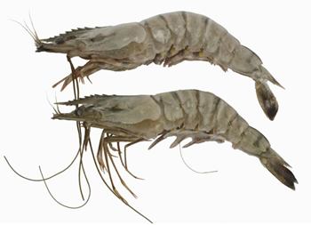 frozen black tiger prawns