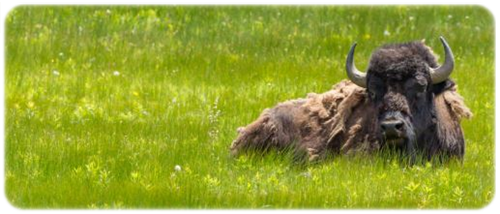 holy grass, bison grass