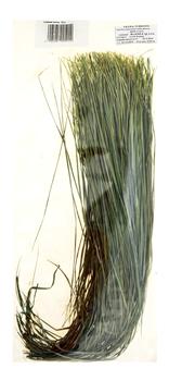 trawa żubrowa