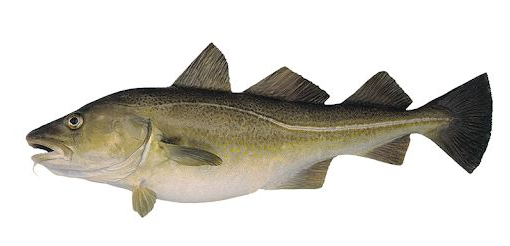 frozen atlantic cod