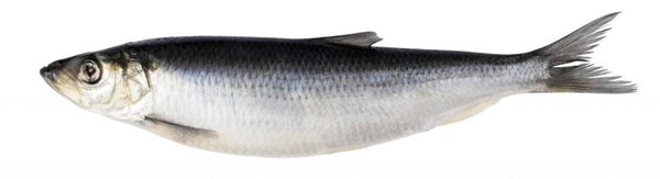 young herring
