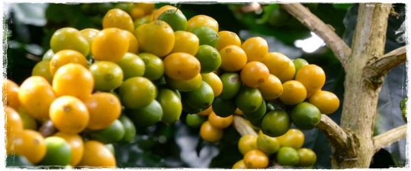 typica yellow