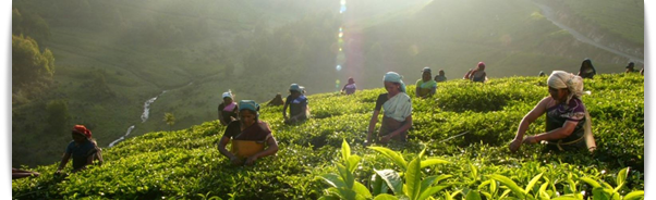 typhoo tea plant