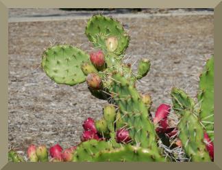 kaktus krojony