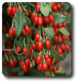 suszone jagody
