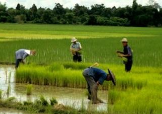 ryż jaśminowy tajski